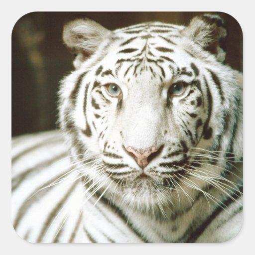 Tigre blanco pegatina cuadrada