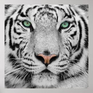Tigre blanco póster