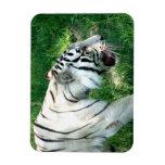 Tigre blanco que camina por Susan L pantano Iman Rectangular