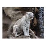 Tigre blanco tarjeta postal