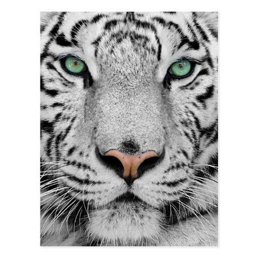 Tigre blanco tarjetas postales