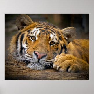 Tigre contento impresiones