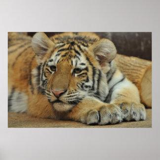 Tigre Cub de Amur Póster