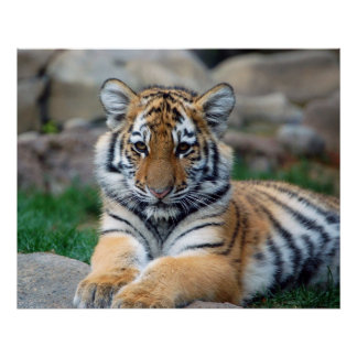Tigre Cub grande Impresiones