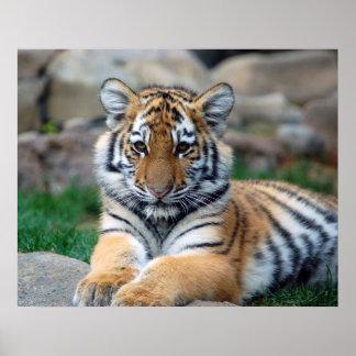 Tigre Cub grande Póster