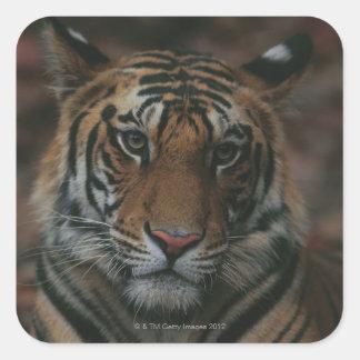 Tigre Cub Calcomanias Cuadradas