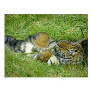 Tigre Cub que juega con un palillo Postales