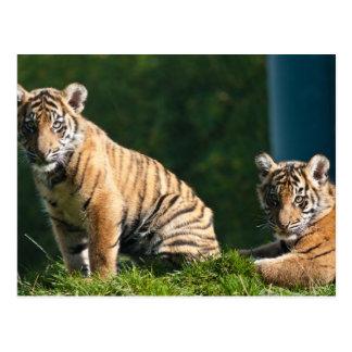 Tigre Cubs Tarjetas Postales