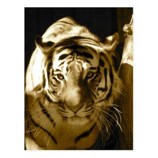 Tigre de Amur en sepia Postales