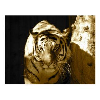 Tigre de Amur en sepia Tarjetas Postales