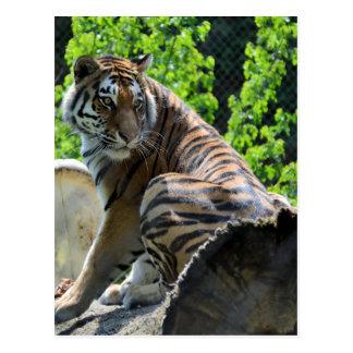 Tigre de Amur (siberiano) Postal