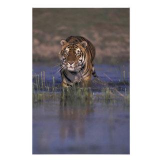Tigre de ASIA la India que camina a través del ag Fotografía