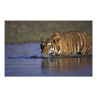 Tigre de ASIA, la India que camina a través del ag Arte Con Fotos