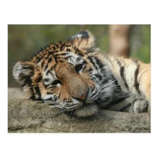 Tigre de bebé el dormir tarjetas postales