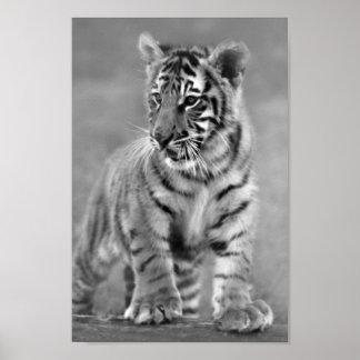 Tigre de bebé en blanco y negro póster