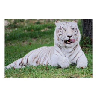 Tigre de Bengala blanco Impresiones