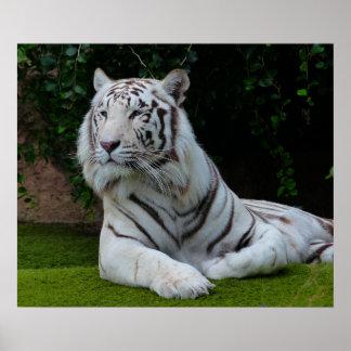 Tigre de Bengala blanco Posters