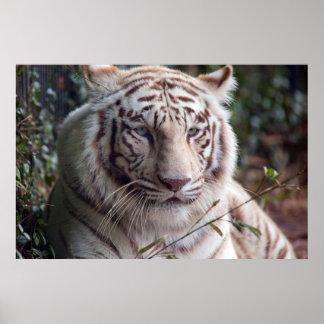 Tigre de Bengala blanco Póster