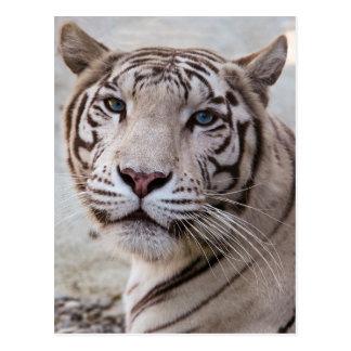 Tigre de Bengala blanco Tarjetas Postales