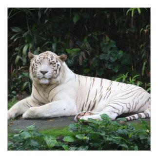 Tigre de Bengala blanco y negro relajado y sonrisa Fotografías