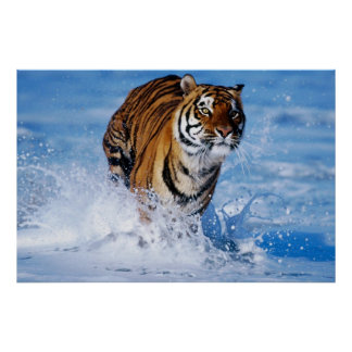 Tigre de Bengala en poster del océano
