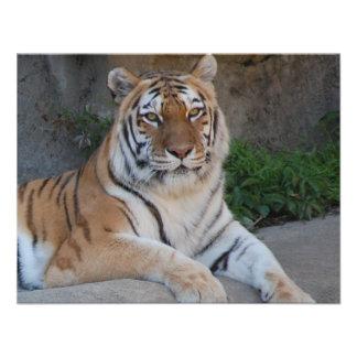 Tigre de Bengala hermoso