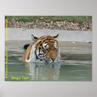 Tigre de Bengala Posters