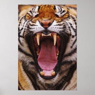 Tigre de Bengala, Panthera el Tigris 2 Póster