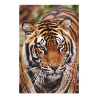 Tigre de Bengala, Panthera el Tigris 3 Fotos