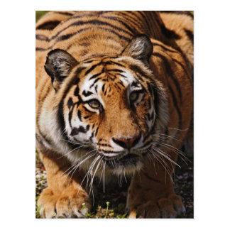 Tigre de Bengala, Panthera el Tigris 3 Postales