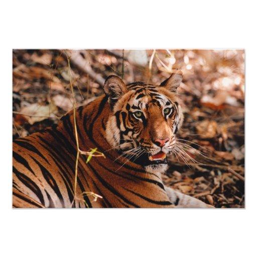 Tigre de Bengala, Panthera el Tigris, Bandhavgarh  Foto