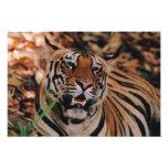 Tigre de Bengala, Panthera el Tigris, Bandhavgarh  Arte Con Fotos
