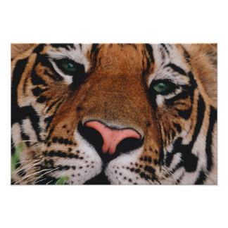 Tigre de Bengala, Panthera el Tigris, Bandhavgarh Cojinete