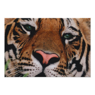 Tigre de Bengala, Panthera el Tigris, Bandhavgarh  Fotografia