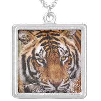 Tigre de Bengala, Panthera el Tigris Collar Plateado