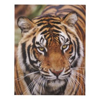 Tigre de Bengala, Panthera el Tigris Cuadro