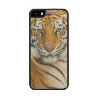 Tigre de Bengala (Panthera el Tigris el Tigris) Funda De Arce Carved® Para iPhone 5 Slim