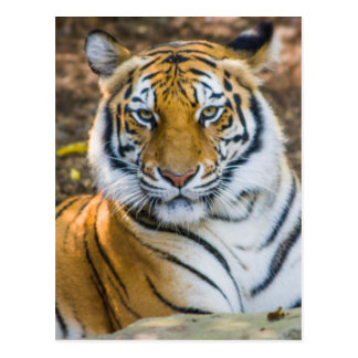 Tigre de Bengala (Panthera el Tigris el Tigris) Postales