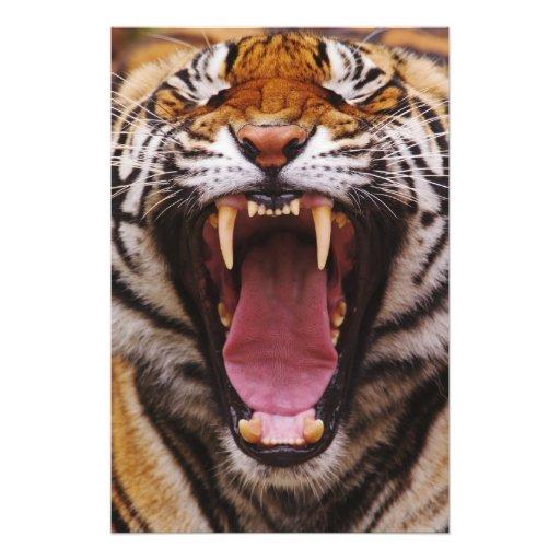 Tigre de Bengala, Panthera el Tigris Fotografias