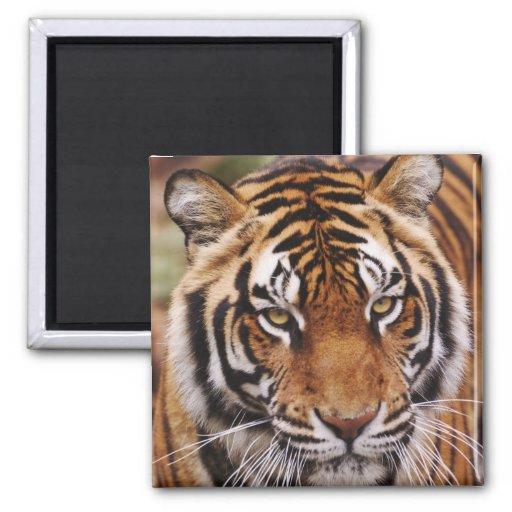 Tigre de Bengala, Panthera el Tigris Imán Cuadrado