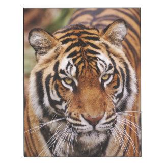 Tigre de Bengala, Panthera el Tigris Impresión En Madera
