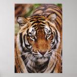 Tigre de Bengala, Panthera el Tigris Impresiones