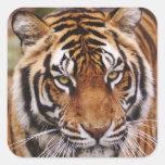 Tigre de Bengala, Panthera el Tigris Calcomanias Cuadradas