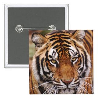 Tigre de Bengala, Panthera el Tigris Pin Cuadrada 5 Cm