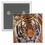Tigre de Bengala, Panthera el Tigris Pin Cuadrado