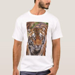Tigre de Bengala, Panthera el Tigris Playera