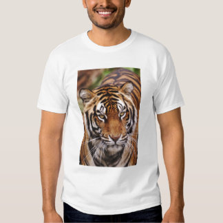 Tigre de Bengala, Panthera el Tigris Polera