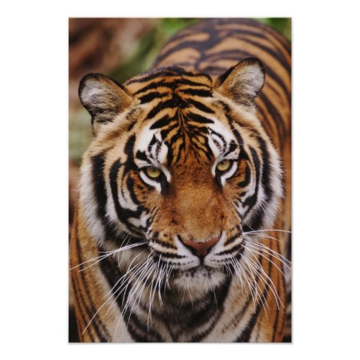 Tigre de Bengala, Panthera el Tigris Póster