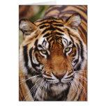 Tigre de Bengala, Panthera el Tigris Tarjeta De Felicitación