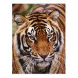 Tigre de Bengala, Panthera el Tigris Tarjetas Postales